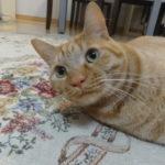 ネコちゃんのブラッシングはコレで決まり!?ファーミネーターを買ってみたけどスゴかった!
